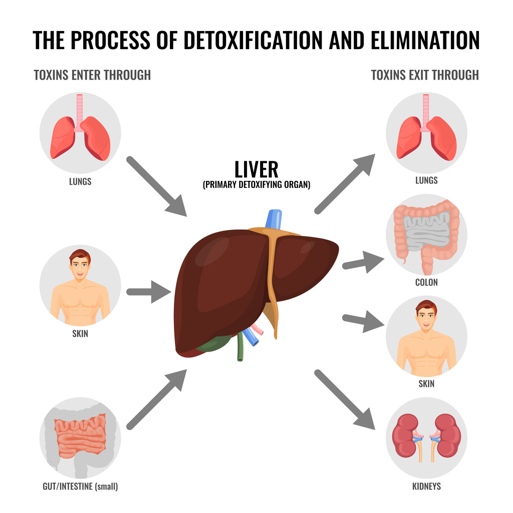 Infographic of how the liver filters toxins.